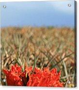 African Tulip Blossom Over Pineapple Field Aloha Makawao Acrylic Print