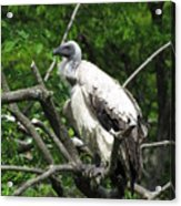 African Vulture Acrylic Print