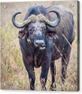 African Water Buffalo And Friends Acrylic Print