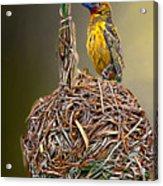 Weaver Nest Acrylic Print