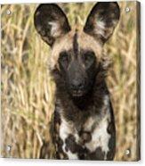 African Wild Dog Okavango Delta Botswana Acrylic Print