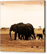 African Wild Elephants Acrylic Print by Anna Om
