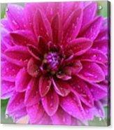 After The Rain - Purple Dahlia Acrylic Print