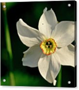 Afternoon Of Narcissus Poeticus. Acrylic Print