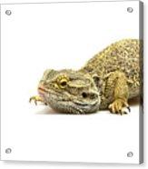 Agama Lizard  Acrylic Print