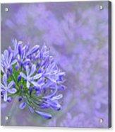 Agapantha Lilac Pastel By Kaye Menner Acrylic Print