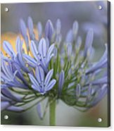 Agapanthus Africanus - Lily Of The Nile 2 Acrylic Print