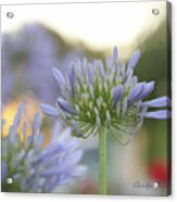 Agapanthus Africanus - Lily Of The Nile Acrylic Print