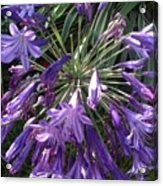 Agapanthus Flowers In Purple - New And Old Acrylic Print