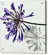 Agapanthus Acrylic Print