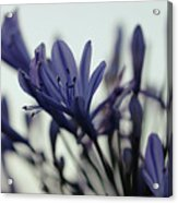 Agapanthus - Love Flower -2  Acrylic Print