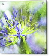 Agapanthus Perfection Acrylic Print