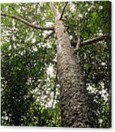 Agathis Borneensis Tree Acrylic Print