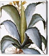 Agave, 1613 Acrylic Print