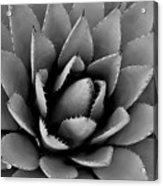 Agave Plant Acrylic Print
