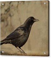 Age Old Crow  Acrylic Print