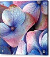 Ageing Hydrangea Acrylic Print