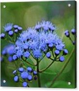 Ageratum Blue Acrylic Print