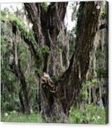 Aging Oak Tree Acrylic Print