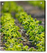 Agriculture- Soybeans 1 Acrylic Print