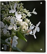 Ailanthus Webworm Moth 2 Acrylic Print