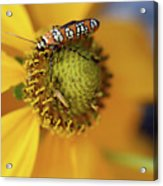 Ailanthus Webworm Moth #5 Acrylic Print