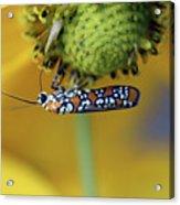 Ailanthus Webworm Moth #6 Acrylic Print