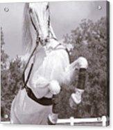 Airs Above The Ground - Lipizzan Stallion Rearing Acrylic Print