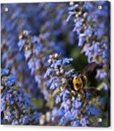 Ajuga And Bumblebee Acrylic Print