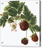 Akala Berries Acrylic Print