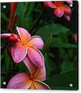 Akeakamai Pua Melia Tropical Plumeria Acrylic Print
