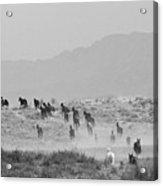 Akhal-teke Herd #2 Acrylic Print