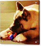 Akita Puppy Acrylic Print by Suni Roveto