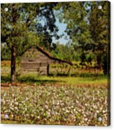 Alabama Cotton Field Acrylic Print