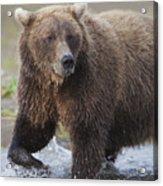 Alaska Brown Bear Upclose Acrylic Print