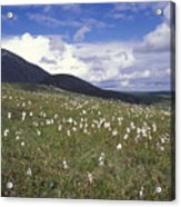 Alaska Cotton Eriophorum Scheuchzeri Acrylic Print
