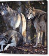 Alaska Wolf Trio Acrylic Print