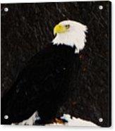 Alaskan Bald Eagle Acrylic Print