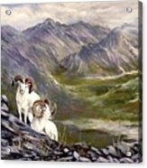 Alaskan  Dalls Sheep Acrylic Print