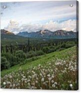 Alaskan Dandelions  Acrylic Print