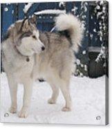 Alaskan Malamute In Snow 2 Acrylic Print