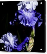 Alaskan Seas Iris  Acrylic Print