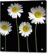 Alaskan Shasta Daisies Acrylic Print