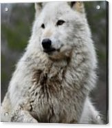 Alawa The Wolf Rests Acrylic Print