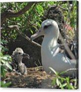 Albatross Mom And Baby Acrylic Print