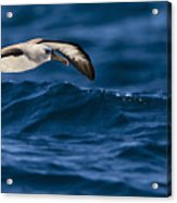 Albatross Of The Deep Blue Acrylic Print by Basie Van Zyl