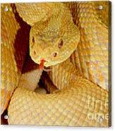 Albino Brazilian Rattlesnake Acrylic Print