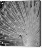 Albino Peacock In Black And White Acrylic Print