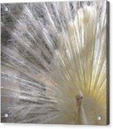 A Leucistic Peacock Acrylic Print
