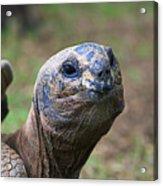 Aldabra Giant Tortoise's Portrait Acrylic Print